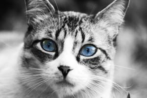 caracter de los gatos según su raza