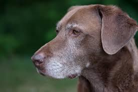 perro_anciano