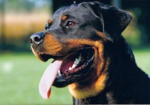 sintomas de hipertermia en perros