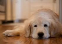 demencia senil en el perro