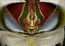 mantis flor del diablo