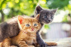 tipos de gatos