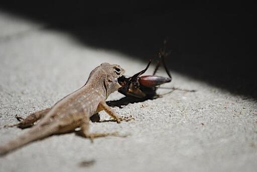 que comen las lagartijas