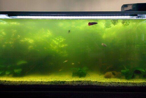agua verde en el acuario