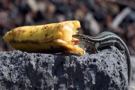lagartija comiendo platano