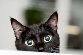 pupilas dilatadas en los gatos